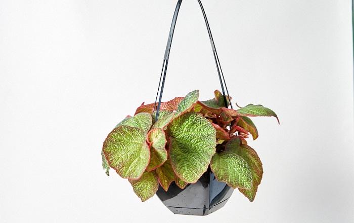 モロッコは、葉がアースカラーでナチュラルに飾りながら育てることができます。乾燥にも強いので、水やりのタイミングがわかりにくいと感じている初心者さんにもおすすめです。日当たりが心配な方でも窓際のカーテンレールにかけて飾れるように、今回はハンギングのプランターでお届け。