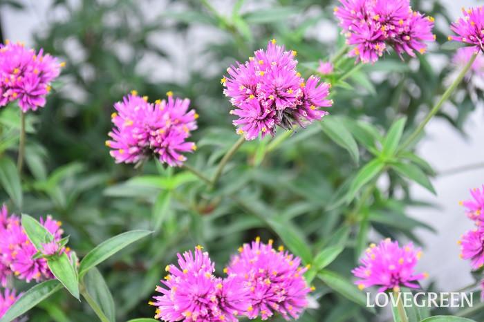 8月に咲く花・千日紅