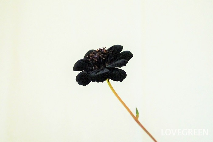 チョコレートコスモスの花言葉を紹介します。  恋の思い出 恋の終わり ▼チョコレートコスモスの花言葉について詳しくはこちら
