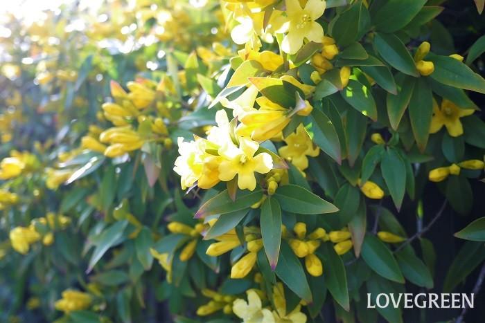 花期: 4~6月 分類:常緑つる性植物 カロライナジャスミンは春に香りの良い黄色の花を咲かせるつる植物です。花付きが良く、手入れも楽な育てやすい花です。有毒なので間違って食べることのないようにしましょう。