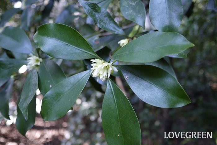 花期:3月~4月 樹高:3m程度 シキミは、葉や枝に芳香があるシキミ科の常緑低木です。耐陰性も強く、手間のかからない丈夫な庭木です。秋になる実は中華料理などで使用される八角(スターアニス)に似ていますが、シキミは毒性が強いので間違えて食べないように注意が必要です。