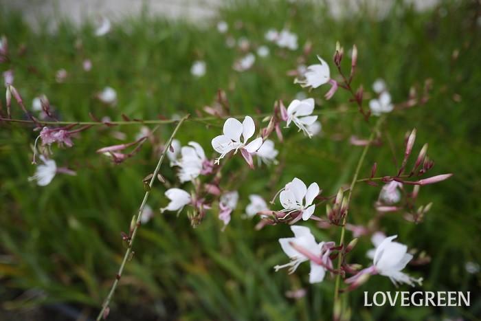花期:5月~10月 分類:多年草 ガウラは春から秋の長い期間、次から次に花を咲かせていくので長く楽しめる草花です。草丈が1m以上にもなるので半分くらいまで切り詰めると、また花を楽しめます。