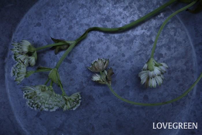 夏は切り花が長持ちしにくい季節。夏の切り花が長持ちしない一番の理由は気温と湿度の高さです。理由がわかれば対処法も見つかるはず。夏の切り花が持たない理由を詳しく説明します。  雑菌 梅雨から夏にかけて、気温と湿度が高くなる時期は雑菌が発生しやすくなります。花瓶の中の水が傷みやすくなるので雑菌が発生します。水と一緒に雑菌を吸い上げた花は内側から雑菌に蝕まれていき、やがて萎れてしまいます。花瓶の水は常に清潔に保つようにしましょう。  蒸れ 湿度が高い時期は植物も蒸れやすくなります。植物は切り花になってからも絶えず呼吸を続けています。湿度が高いとこの呼吸が上手くできなくなり、蒸れて細菌が繁殖してしまいます。対処法は余計な葉を取り除き通気性を良くすること。花瓶に生ける際はぎゅっと詰め込まずに、ゆとりを持たせて生けるようにしましょう。