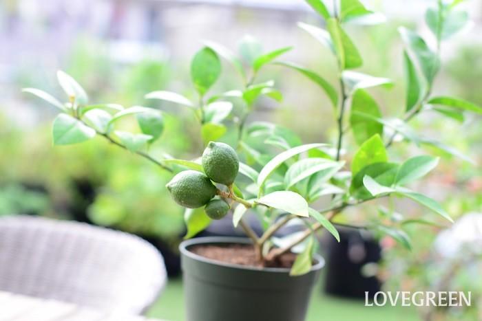 収穫期:11月~3月 樹高:5m レモンは香りの良い実を付ける常緑高木です。春から夏に咲く花も香りが良いのが特徴です。耐寒性が強くないので、暖地での栽培に向いています。