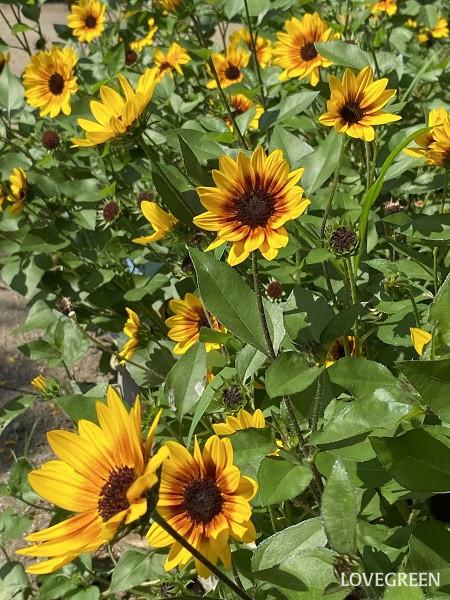ヒマワリ・サンビリーバブルは、初夏から晩夏までの長期間開花し続けます。種をつけないので、花がらは見苦しくない程度に摘み取ればよいでしょう。花が終わった後もフォルムに趣があり見応えがあります。