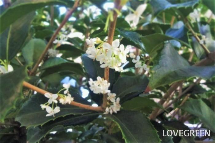 花期:10月 樹高:5~6m ヒイラギモクセイはキンモクセイよりも少し遅れて香りの良い花を咲かせる常緑高木です。葉はヒイラギのようなギザギザとした形状で、秋に小さな白い花を咲かせます。常緑で葉の密度も高く、防犯の役割も果たすとして生垣に好まれます。