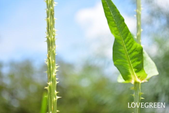 チーゼルは花や花の下、茎に鋭いトゲがあります。切り花として扱う時には要注意。2m前後になる草花なので、切り花でも70~80cmくらいの長い丈で流通します。フォルムのユニークな花材なので、大きな花あしらいのアクセントに重宝します。