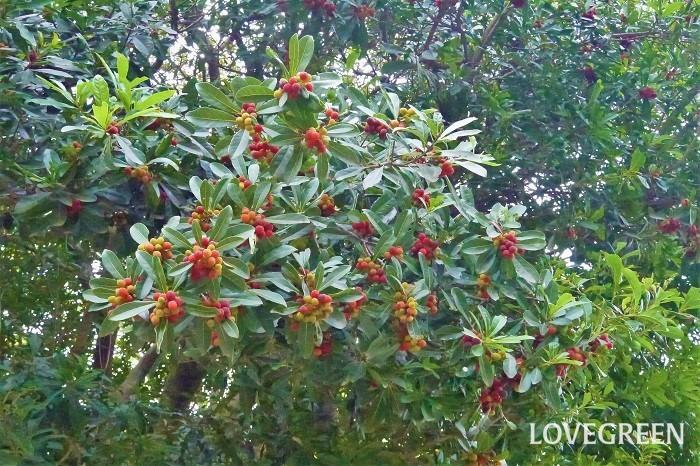 収穫期:6~7月 樹高:5~10m ヤマモモは、高木の枝の先にみっしりと赤い果実を実らせる果樹です。雌雄異株で実がなるのは雌株のみです。