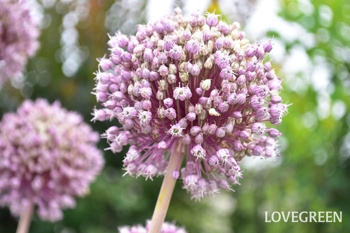 アリウムはとても品種が多く、花の開花時期も春咲きから初夏咲きまで様々です。7月に咲くアリウム・サマードラマーは、アリウム・ギガンチウムに似た球状です。個体差がありますが、背丈が2m近くになるため、とても存在感があって庭のアクセントになります。
