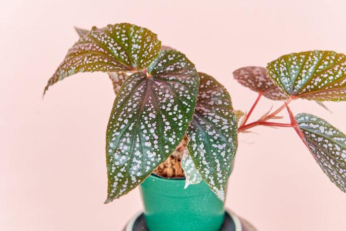 ベゴニアが観葉植物として人気の理由の一つが葉の模様やカラー。ベニゴはピンクのドット模様で初心者さんにおすすめしたいコンパクトで育てやすいです。