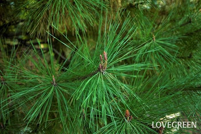 常緑樹とは、一年を通しグリーンの葉を絶やさない樹木のことを指します。冬でも青々とした葉を茂らせる松やモミの木などが常緑樹です。 常緑樹は落葉しないわけではありません。種類によりますが多くは1年~3年のサイクルで新しい葉が出て古い葉が落ちていきます。 冬にも青々とした葉を絶やさない常緑樹は永遠や生命の象徴として神聖視されることもあります。