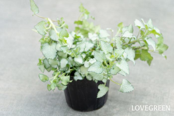ラミウムは、丸みのある三角形のシルバー色の葉が美しいカラーリーフ。草丈は15~40㎝ほどで、ふんわりと横に広がって茎が蔓状に伸びるように生長します。日本に自生するホトケノザやオドリコソウの仲間です。ラミウム・マクラツムや、ラミウム・ガレオブドロンの園芸品種が流通しています。  ラミウムは乾燥に強いですが、高温多湿に弱く、真夏の直射日光では葉焼けをおこすことがあります。真夏は半日陰くらいの場所で、秋から春にかけては日当たり~半日陰で管理すると葉色が美しくなります。寒さに強く常緑性なので、周年、寄せ植えやハンギングバスケットによく用いられます。  ラミウムのシルバー色は、春夏は爽やかで涼し気な印象、秋はその葉のふわふわ感から長袖が恋しくなった季節にぴったりな雰囲気、冬は雪やホワイトクリスマスなどのイメージを演出できます。つくづく、どんな季節に使っても違和感を感じない優れものだなと思います。