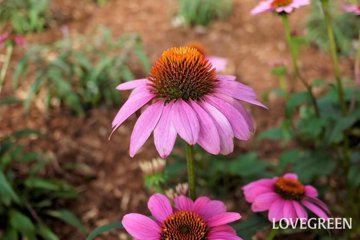 開花期:6~10月 分類:多年草 エキナセアは咲き進むにつれ花芯が大きく盛り上がってくる、キク科の多年草です。草丈は1m以上になるものもあり、花壇のなかで存在感を放ちます。