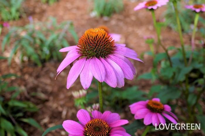 エキナセアは大きく盛り上がる花芯が印象的なキク科の多年草です。花径は5~8cm程度と大きく、それだけで絵になる花です。大した手間をかけずとも毎年花を楽しめるのも魅力です。