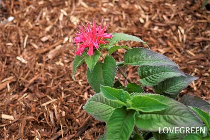 花期:6月~9月 分類:多年草 モナルダは真夏に色鮮やかな花を咲かせるシソ科のハーブで、花や葉などに芳香があります。暑さ、寒さに強く、花丈も高い見栄えのする育てやすい花です。