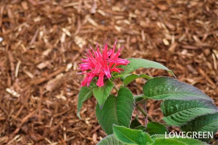 モナルダは別名をタイマツバナやビーバームとも言い、独特のフォルムが魅力の花です。花色が豊富で、全草に芳香があることで人気のハーブでもあります一輪飾っておくだけで景色ができるような花です。