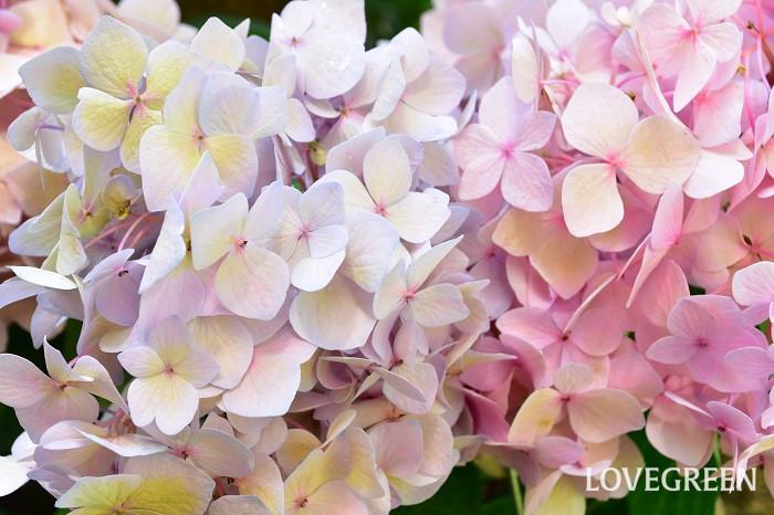四季咲きアジサイは切り花として楽しむこともできます。特に秋に咲く花は、美しい秋色になります。