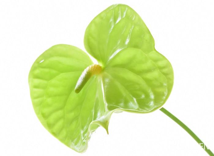 アンスリウムは変わったフォルムの花が印象的なサトイモ科の花です。ガラス細工のような質感も魅力です。アンスリウムはほとんど姿を変えずに長く楽しめる切り花です。