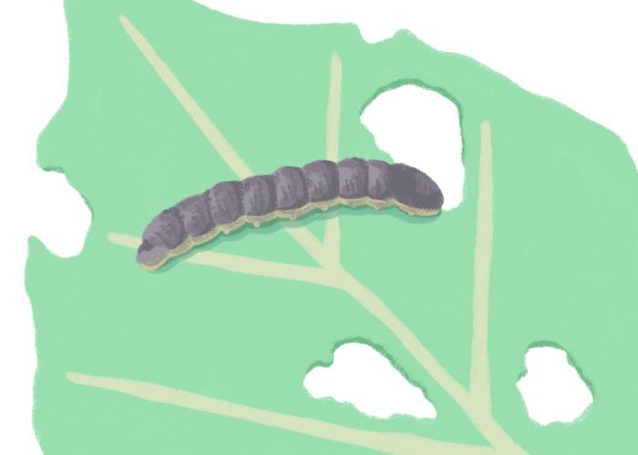 幼虫は大きくなると主に夜に活動し被害をもたらすため「夜盗虫(ヨトウムシ)」と呼ばれる。 体長は約20~40mm、体色は緑色や褐色が多い。 孵化したての幼虫は、葉裏に群生し葉裏から食害するため、葉が白く透けた状態に。 大きくなると夜行動を始めます。 分散するため見つけにくく、被害が拡大するので要注意。食欲が旺盛なため、一晩でキャベツなどが食い荒らされることも。