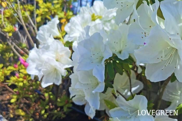 花期:4月~5月(四季咲き) 樹高:1~3m ツツジ、サツキは鮮やかな花色が印象的なツツジ科の常緑低木です。葉の表面には産毛のような毛があります。花色は白やピンク、濃いピンクなど。環境が合えば夏や秋でも花を咲かせます。