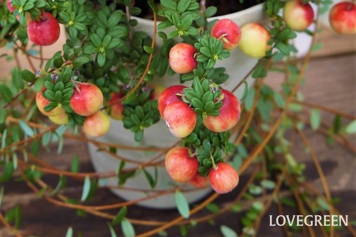 収穫期:9月~12月 樹高:10~20cm(ほふく性) クランベリーは秋から冬にかけて、真赤な果実を実らせる常緑低木です。木立ではなく、つるを伸ばすように地面をほふくして生長します。クランベリーの果実は非常に酸味が強く生食には向きません。ジャムやジュースにして楽しめます。