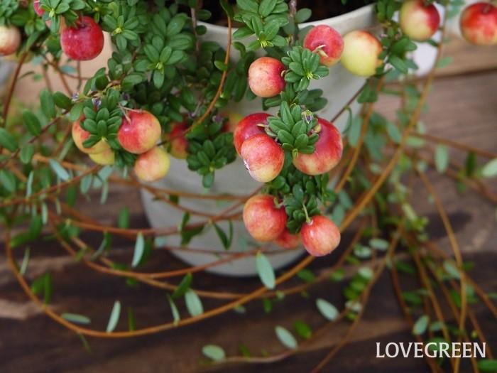 学名:Vaccinium macrocarpon 英語:Cranberry (クランベリー) 科名:ツツジ科 収穫期:9月~12月 クランベリーは和名をツルコケモモあるいはオオミノツルコケモモと言い、秋から冬に赤い果実を実らせるつる性常緑低木です。地面を這うようにつるを伸ばして生長します。クランベリーの果実は酸味が強く生食には向きません。ドライフルーツの他、ジュースやジャムにして楽しみます。