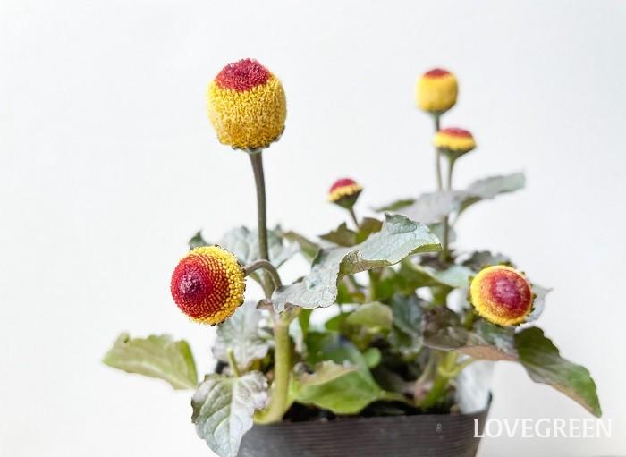 写真は、花の真ん中が褐色の「たまごぼーる」です。個性的でインパクトが強いので、寄せ植えに使うときは他の花との組み合わせに少し気をつかいます。この「たまごぼーる」を使う場合は、「たまごぼーる」の良さを活かす花を合わせるとセンス良く仕上がります。
