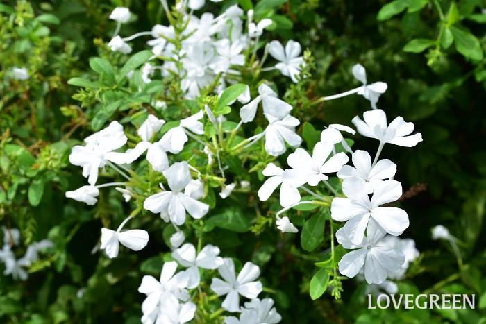 8月に咲く花・ルリマツリ