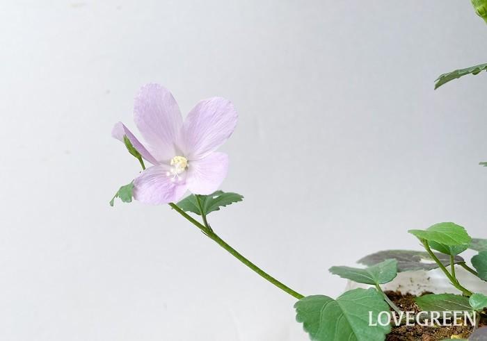 ロバツスは、原種の這い性ハイビスカス。繊細な枝葉に、花径3cmほどの淡い桃色の可憐な花を咲かせます。