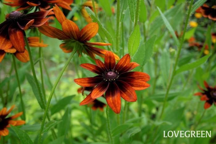 ルドベキアは黄色や赤、茶色などの花を咲かせる、キク科の一年草、または多年草です。10cmくらいの大輪から3cmくらいの小花まで品種により花径はさまざまです。和の雰囲気にも洋の雰囲気にも似合います。