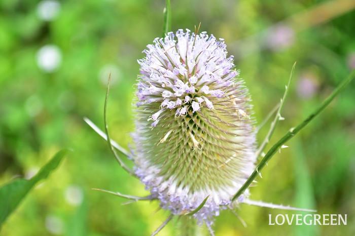 チーゼルの花の咲き方は独特で、花の周囲を取り囲むように輪状に薄紫色の花が上から開花し、徐々に下に咲き進みます。徐々に咲き進む花は、どちらかというと下から咲き進む花が多い気がするのですが、チーゼルは逆。咲き始めの見た目はつぼみにリースの冠でもつけているような、かわいらしい見た目です。