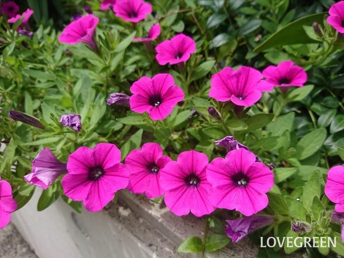 花期: 3月~11月 分類:一年草 ペチュニアは夏に色鮮やかな花をたくさん咲かせる一年草の花です。花が小ぶりなものや八重咲き種まであります。水やりさえしっかり行っていればたくさんの花を楽しめる育てやすい花です。