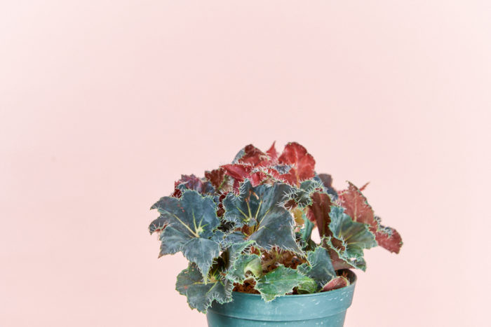 黒っぽい葉は、光の当たり方で葉が青くなります。隠れた宝石を探すよう。深みのあるカラーなので、インテリアのポイントとしても活躍します。