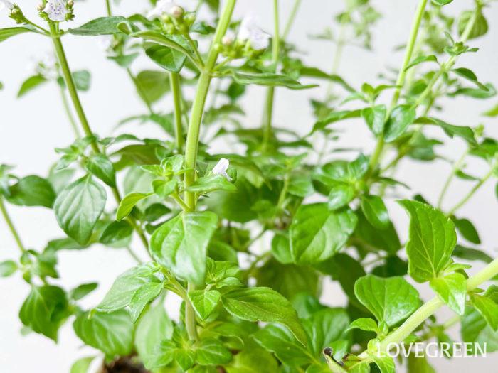 香りはとっても爽やか。ほんのりとミントのような香りを漂わせます。葉はハーブティーにも用いられていて、別名をカラミントと言います。チッソ肥料が効きすぎると香りが薄くなることがあるので要注意。