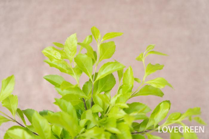 明るいライム色の葉が美しいデュランタ。花はあまり咲きません。