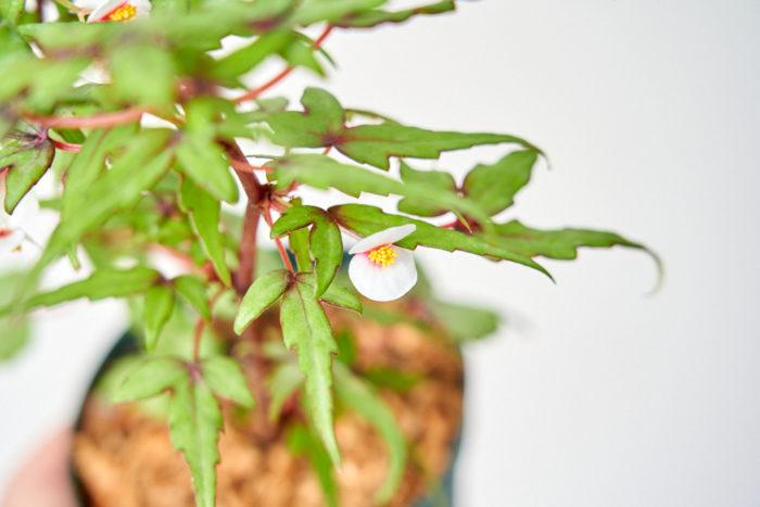 コンパクトに育てることができ、葉は紅葉のようなフォルムで涼しげな印象もあります。花は白と赤で繊細な花を咲かせてくれます。