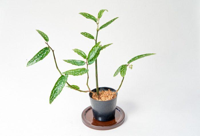 グングン生長するベゴニアのアルポピクタ。葉の生長がわかりやすく、笹の葉ベゴニアと遊び心ある呼び名もあり、涼しげに揺れる葉に癒されたり、七夕の時に短冊を飾っておうち七夕なんてのも良いかも。
