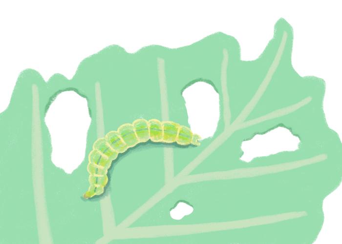 5~10mmの小さなアオムシで、成虫は10mm以下の小さなガ。 キャベツなどのアブラナ科の植物に寄生します。 葉裏に卵を産み、孵化した幼虫は葉にもぐりこみ、葉肉の中から食害。 成長すると葉裏から食害します。表皮を残して食べるため半透明の斑点が残る。 食害された葉は不規則に穴が開き、葉脈のみ残して食べつくされることもあります。