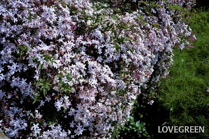 花期: 4~5月 分類:半常緑つる性植物 ハゴロモジャスミンは香りの良い白い花を咲かせるつる植物です。葉を楽しむ斑入り種もあります。強健で花付きも良く育てやすい花です。