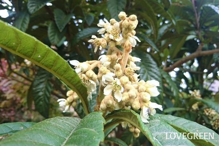 収穫期:6月 樹高:5~10m ビワは、冬に白い花を咲かせ、初夏に果実を実らせる果樹です。放っておくと大きくなるので、適宜剪定が必要です。大きな葉が印象的な庭木です。