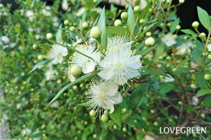 花期:5月~6月 樹高:1~3m マートルは、地中海地方原産のフトモモ科の常緑低木です。光沢のある葉が美しい庭木です。和名をギンバイカと言い、初夏に梅に似た白い花を咲かせます。