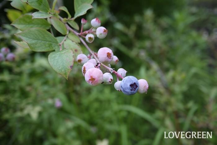 学名:Vaccinium corymbosum 英語:Blueberry(ブルーベリー) 科名:ツツジ科 収穫期:7月~9月 ブルーベリーは夏に青黒い果実を実らせる落葉低木です。スズランのような花も、秋の紅葉も美しい果樹です。ブルーベリーの果実は生食やジャム、ジュース、果実酒にして楽しめます。ブルーベリーは、同一系統の異品種を近くに植え付けると結実しやすくなります。