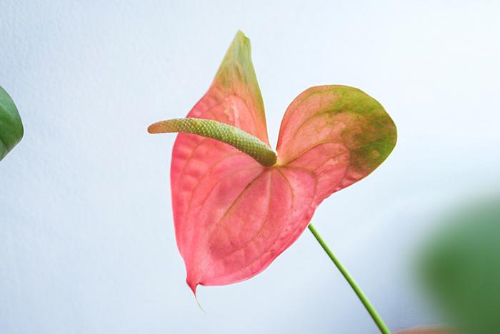 太陽が高く昇り、夏到来の毎日ですね!暑くなってきて、花が日持ちしなくなる頃、強さを発揮し続ける花がアンスリウムです。  個性的な形状が美しい花と、つややかでしなやかな葉。夏の暑さに負けずに、日持ちしやすく、力強さを発揮してくれる花は、夏のお部屋に飾る花として欠かせない存在です。  私も、鉢植えとしても切り花としてもアンスリウムは大好きなお花で、市場の仕入れでは毎回と言っていいほど手にしています。一輪で飾っても、十分に見応えがあります。数本まとめて飾ると統一感が出て華やかに。他の草花と混ぜ合わせてもちょうどいいアクセントになります。