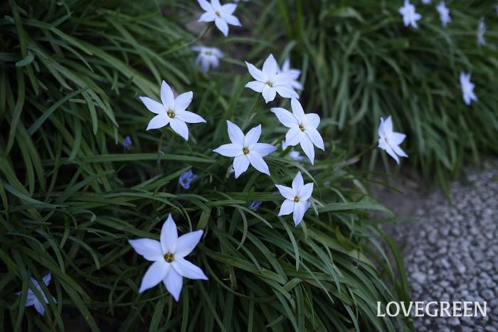 花期:3~4月 分類:球根植物 ハナニラは星形の花が可愛い球根植物です。分球してよく増えます。日向から半日陰まで良く育ち、花付きも良いので庭木の下草としても人気の花です。