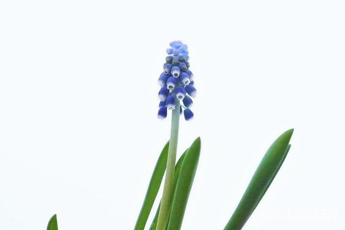 花期:3~5月 分類:多年草 ムスカリの花は初春、梅が咲くころから咲き始めます。分球してよく増える球根植物です。草丈は10㎝程度と小さく派手な花ではありませんが、群生している姿は見ごたえがあります。
