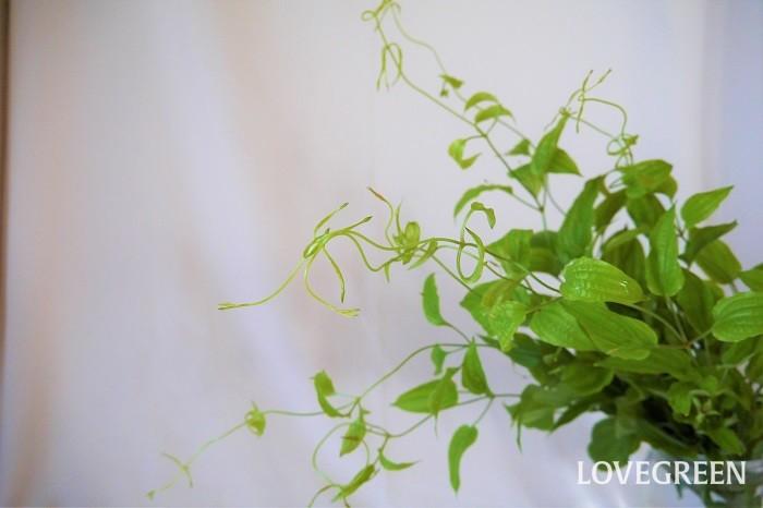 リキュウソウは先端の巻きひげが可愛らしいつる植物です。和の雰囲気にも、洋の雰囲気にも合う、使いやすいグリーンです。リキュウソウは下の方の葉が蒸れて腐りやすいので、余計な葉は取り除くようにしましょう。