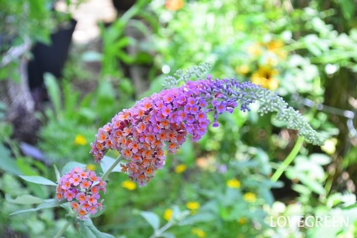 ブッドレアは初夏から秋にかけて小さな花が集まって円錐状の形をした花を咲かせる落葉低木。香りと蜜に誘われ蝶が集まることから、欧米では「バタフライブッシュ」の名でも呼ばれています。