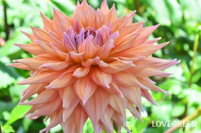 ダリアのもう一つの魅力と言えば、開花期間が長いこと。一番花は初夏から咲き始めます。夏の花ですが、東京のような夜まで気温が下がらないような暑さには弱いため、真夏は花が休み、秋になると再び返り咲きます。一番花の初夏は大輪で華やかなダリア、気温が下がってくる秋は深い色合いで花数の多いダリアと、季節によって違った趣の花を楽しめるのが魅力です。