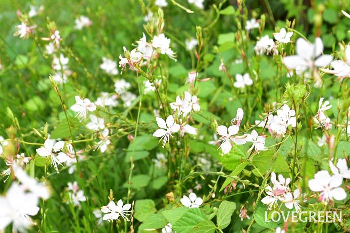 ガウラは初夏から秋まで暑さに強く、夏の暑さにも負けずよく咲きます。丈のある花なので地植えにすると見事ですが、コンテナでも育てられます。最近は矮性種もあります。
