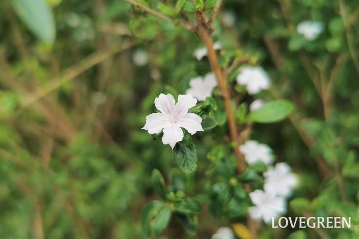 花期:5月~6月 樹高:1~3m ハクチョウゲはアカネ科の常緑低木です。常緑ですが、冬には葉を少し落とします。初夏に直径1cm足らずの小さな花を咲かせます。花にはほのかに芳香があります。